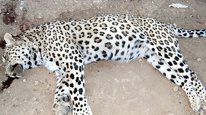 Leopar Davasında hayvanseverleri üzen o Karar ...