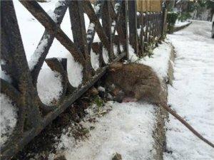 İstanbul'daki dondurucu soğuklar fareleri bile...