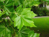 Çınar yaprağının faydaları yararları nelerdir