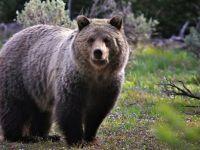 Kastamonu'da ayı dehşeti !!! Aç kalan ayı mezardaki cesedi çıkarıp ...