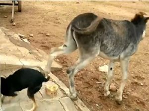 Eşeğin Köpekten İntikamı Kötü Oldu