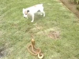 Köpek ile kobra yılanının ölümcül kavgası