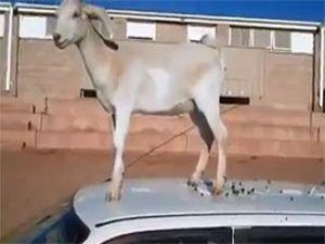 Özgürlüğüne kavuşan keçinin yaptığına bakın