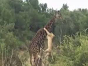 Zürafanın Sonu Çok Kötü Bitti!