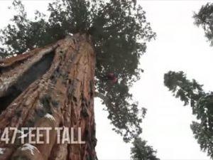 Dünyanın En Büyük Ağacı