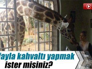 Zürafayla Kahvaltı Yapmak İster misiniz?